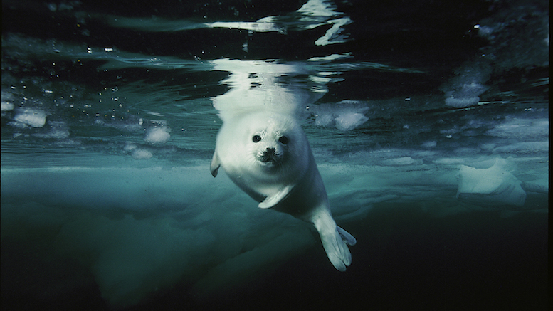 A curious harp seal pup, shot in Canada in 2002 [© Brian Skerry]