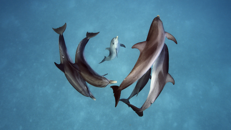 Spotted dolphins in the waters around Bimini, The Bahamas [© Brian Skerry]