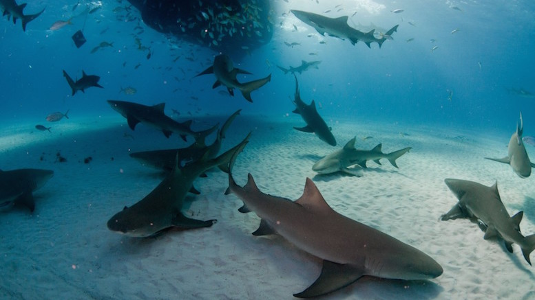 A large group of lemon sharks underneath a dive boat, Bahamas
