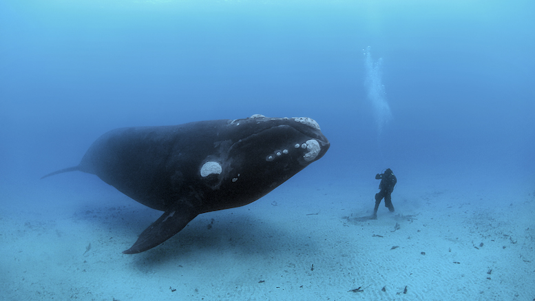 Brian's encounter with an adult southern right whale in New Zealand's Auckland Islands tops his list of unforgettable experiences [© Brian Skerry]