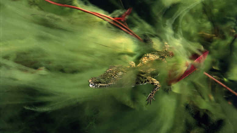 A baby nile crocodile hides in a veil of algae in the Ncamasere Channel of the Pan handle region of the Okavango Delta, Botswana, Africa. © David Doubilet