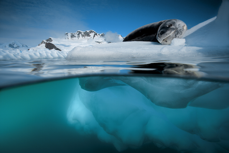 A leopard seal on ice at Pleneau