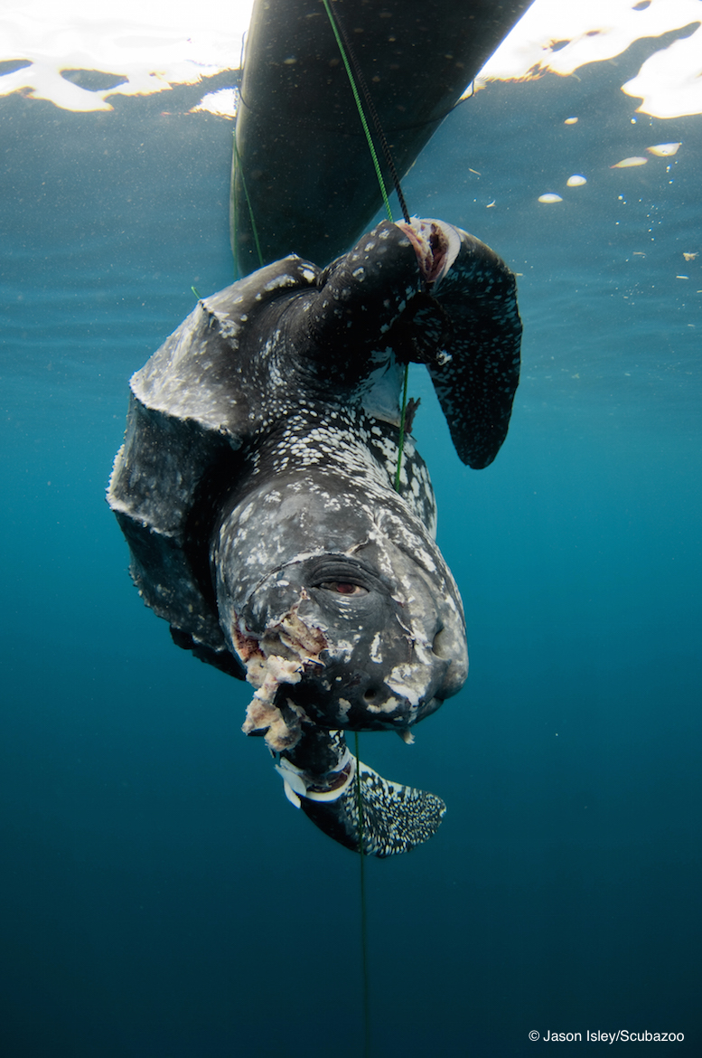 A leatherback captured for meat in the Maluku Islands, Indonesia.