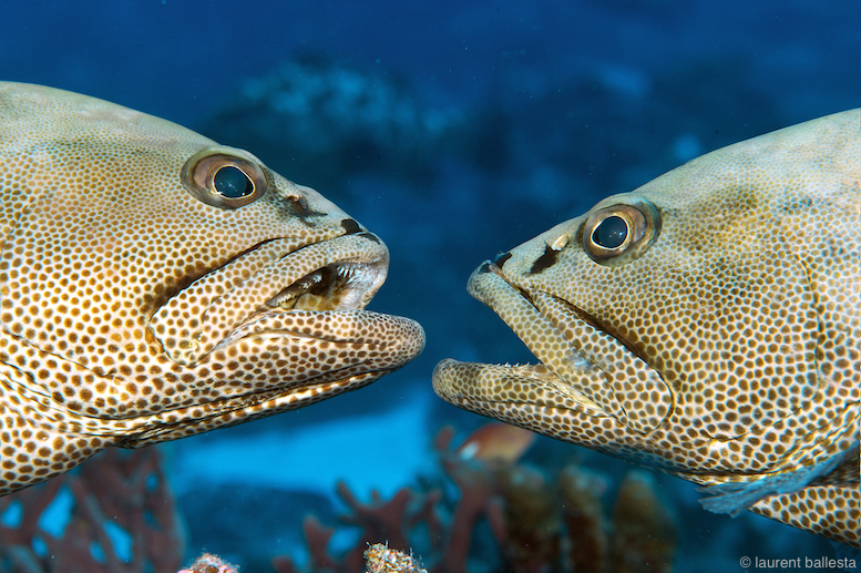 Thousands of grouper aggregate each year in French Polynesia for four weeks of non-stop competition