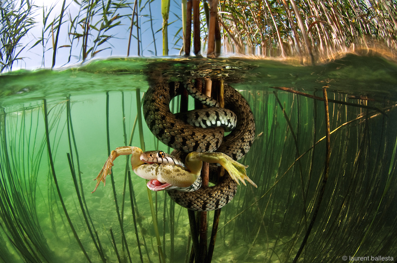 In a serpent-filled  freshwater lake in Neuchatel, Switzerland, a snake attempts to predate a frog, but moments later, spits it out.