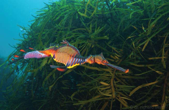 Endemic species aren't only found in the tropics. Southern Australia has more than its fair share of indigenous species. The fabled seadragons are found only here.