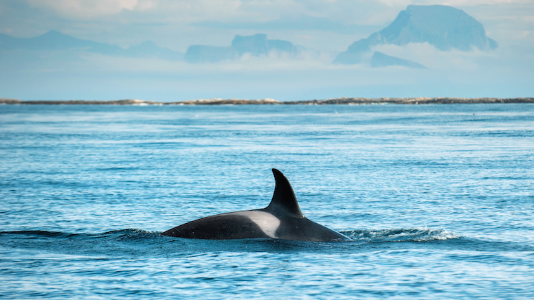 The dorsal fin of an orca, somewhere off the Icelandic coast line © 123.com