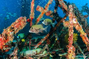 Sweetlips and other tropical fish school around manmade wreckage