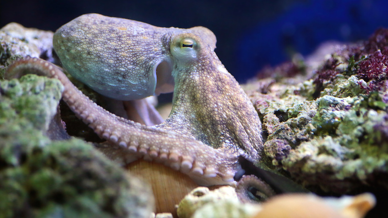 A common octopus, Octopus vulgaris, is resting on a reef. These molluscs can be found in the Mediterranean Sea and the Atlantic Ocean.