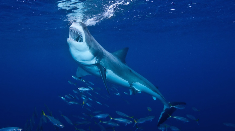 """Out in the blue, opportunities to dive with great whites! © 123rf.com"