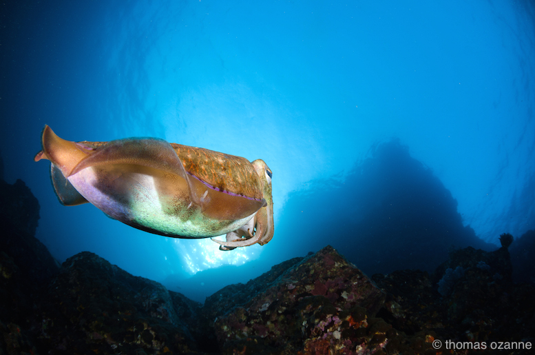 A cuttlefish hovers by the entrance of Crayfish Cave.