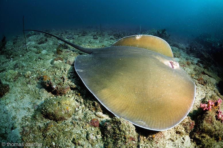 A stingray hugs the sea floor in search of prey.