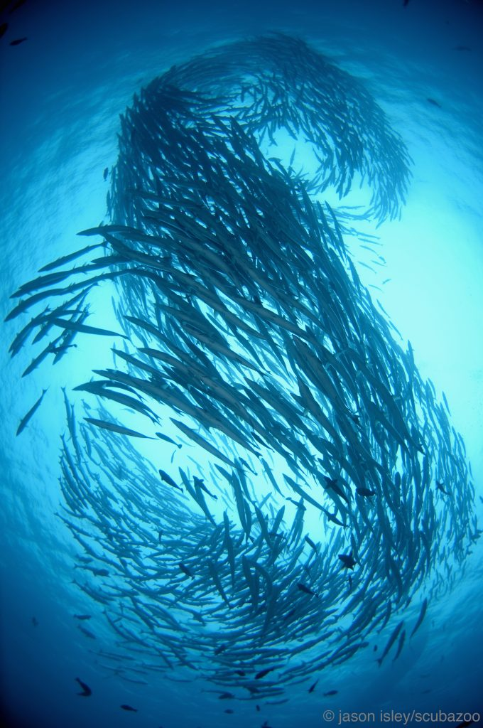 Large school of chevron barracuda.
