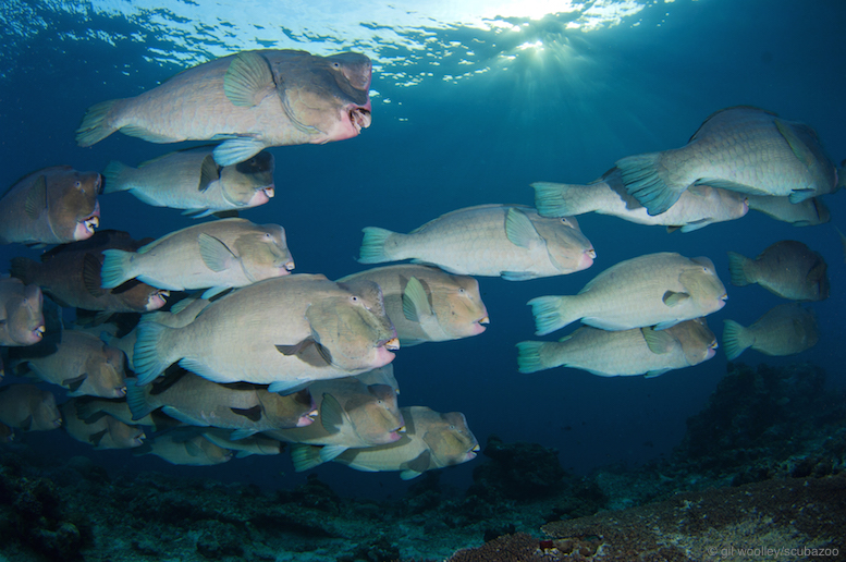 Bumphead parrotfish swimming together as a school.
