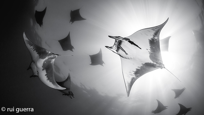 Diving between dozens of devil rays is a wonderful experience, possible in the Azores, particularly at Baixa do Ambrósio.