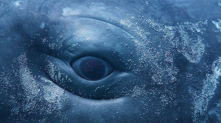 Close up of eye of sperm whale calf.