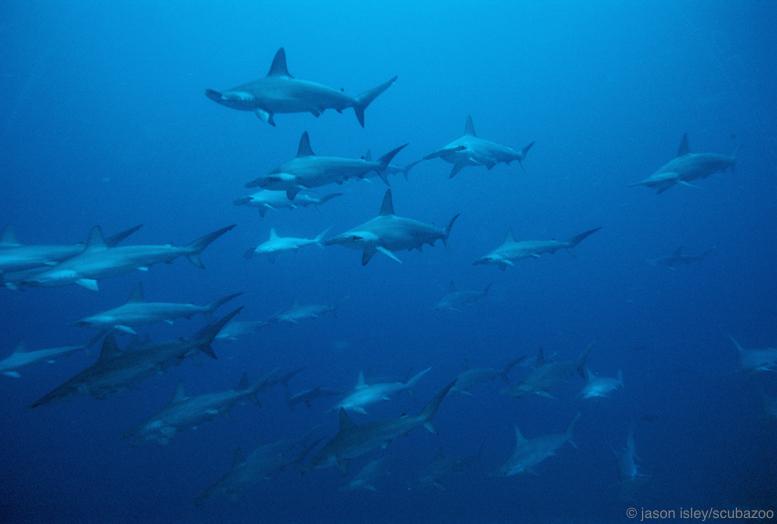 School of scalloped hammerhead sharks.