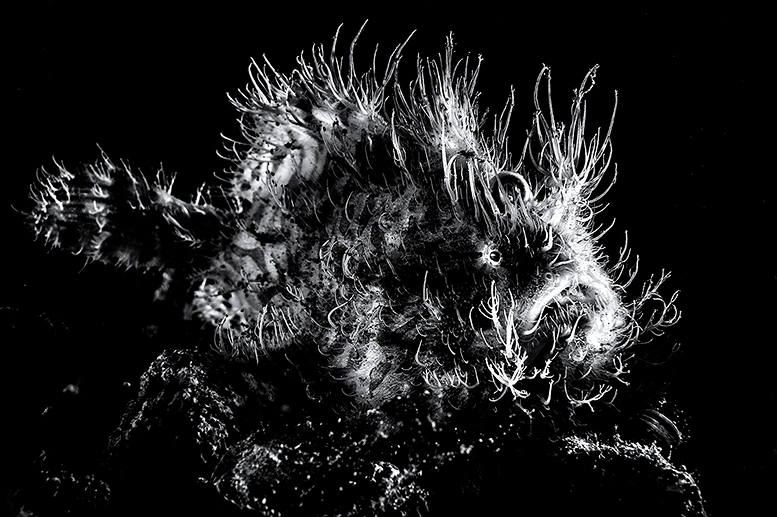 Backlit hairy frogfish, Lembeh. Equipment: Nikon D4 and Nikon 60mm lens.