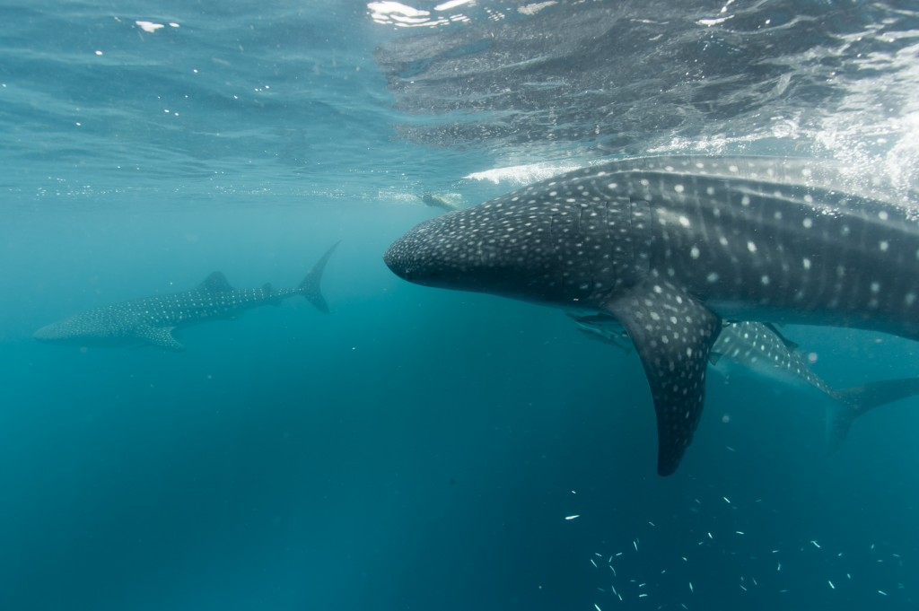 Three whale sharks visiting Papua waters ©123rf.com