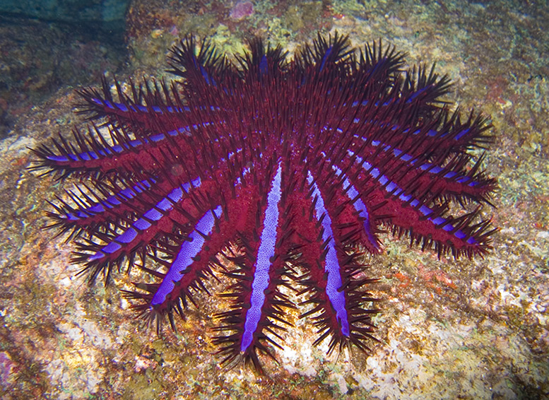 An unusually brightly coloured crown-of-thorns starfish, Thailand © Jon Hanson/flickr/Wikimedia Commons