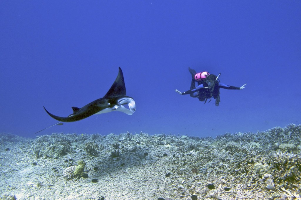 Female scuba diver swimming with a young male manta ray, Kona District, Hawaii © Wikimedia Commons