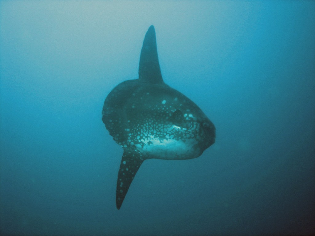 Sunfish in Palau Sardinia, Italy © Wikimedia Commons