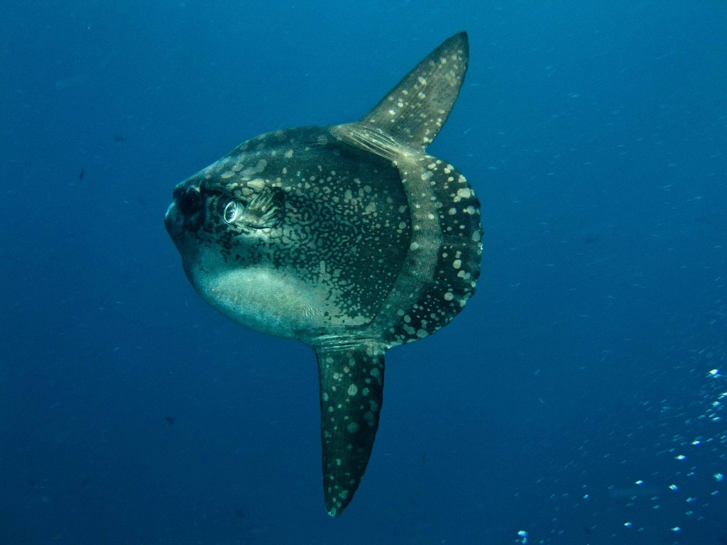 Sunfish at Nusa Penida © Wikimedia Commons