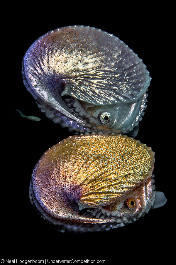 Our World Underwater 2016 – Macro Traditional Gold by Neal Hoogenboom