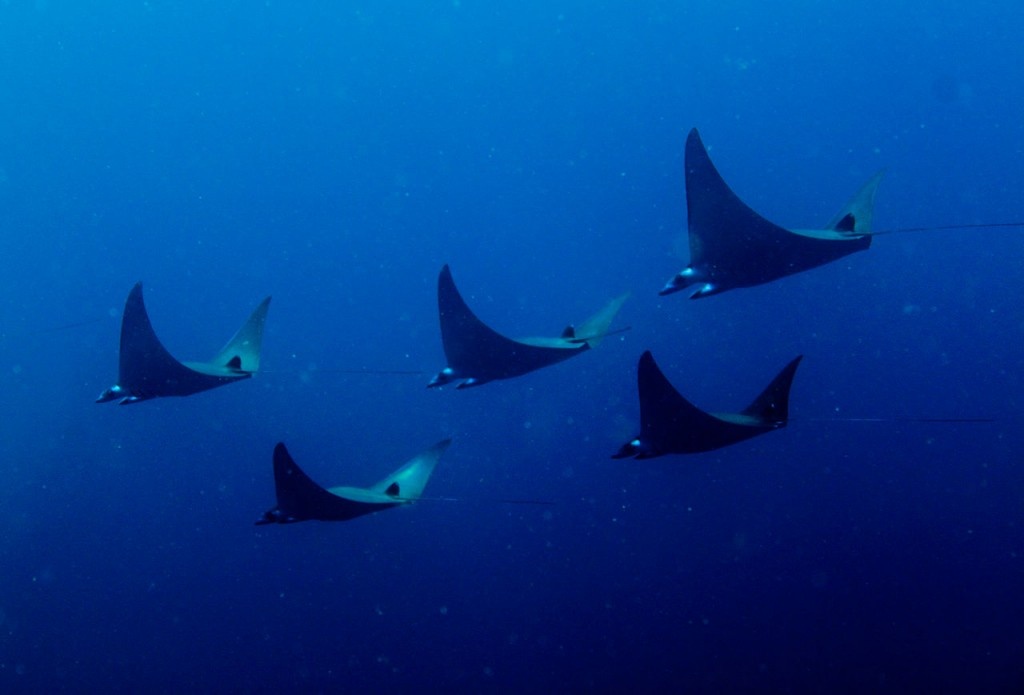 A group of pygmy manta rays © Wikimedia Commons