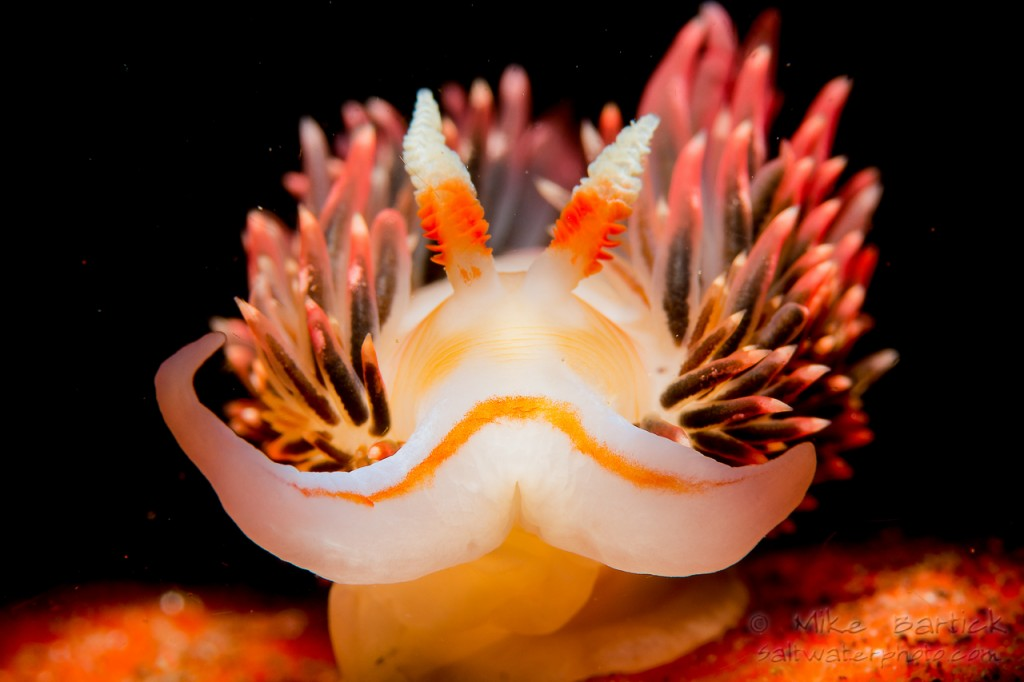 Hilton Nudibranch from California are colourful and can be very dramatic when using a snoot. Often found in the surgiest part of the reef, timing is crucial to get the rhinophores and cerata standing straight up.