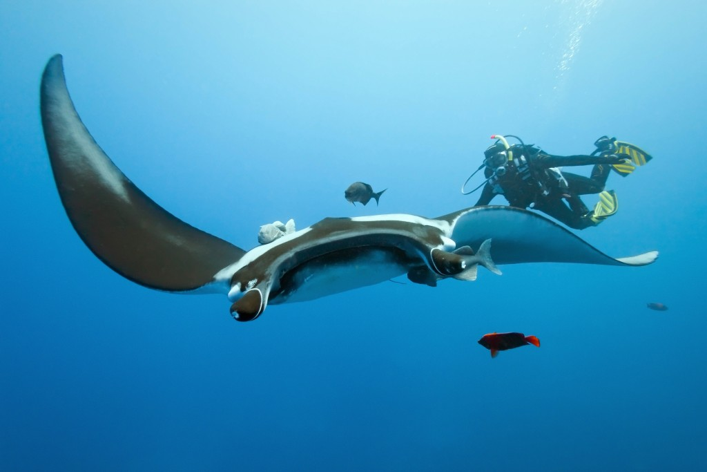 A manta ray unexpectedly glides into the view of a diver