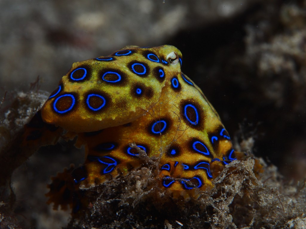 Greater blue-ringed octopus Hapalochlaena lunulata. © Rickard Zerpe
