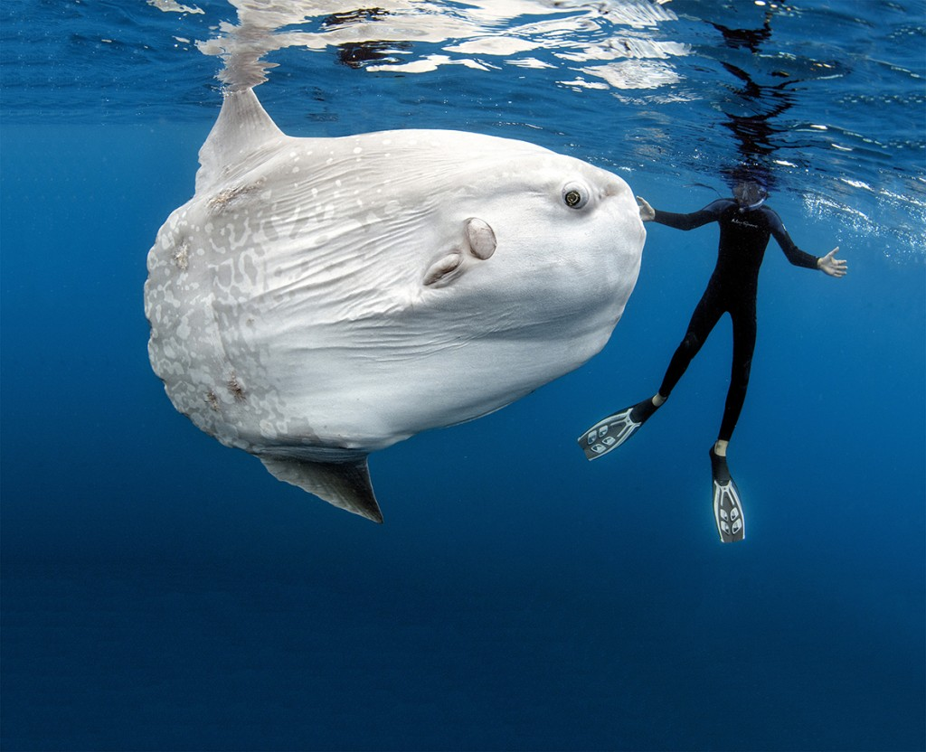 Fascinatingly goofy-looking, incredibly clumsy swimmers, ocean sunfish, or Mola mola, are top of the list for divers looking for unusual encounters. © Daniel Bothelo