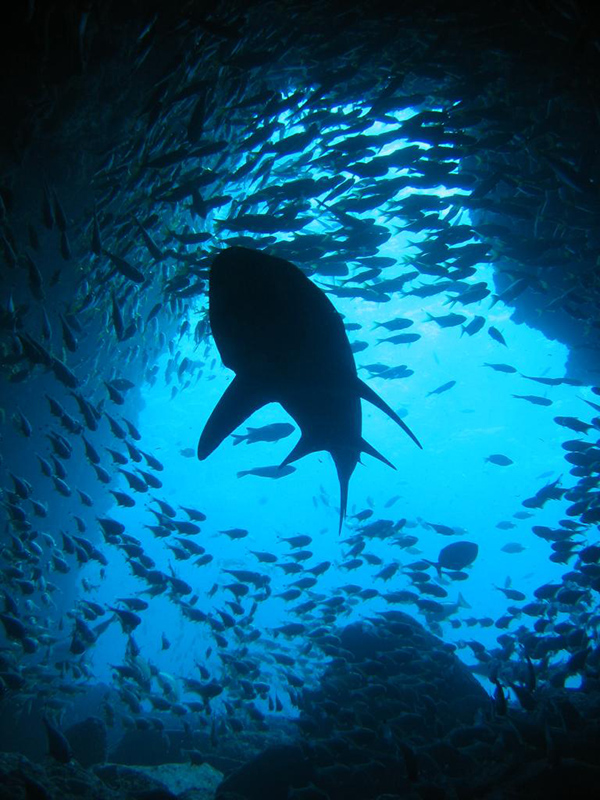 A grey nurse shark silhouetted against the mouth of Fish Rock Cave, New South Wales © Richard Ling