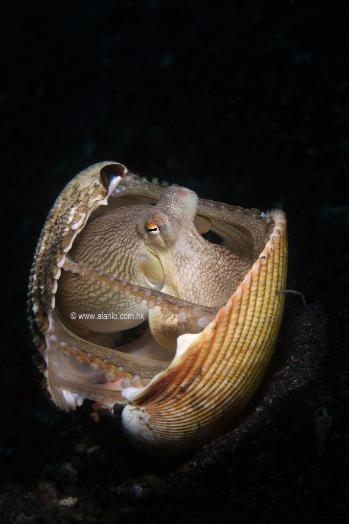 The octopus using a clam shell for protection