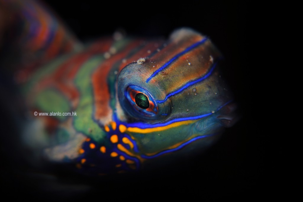 A mandarinfish swims into view
