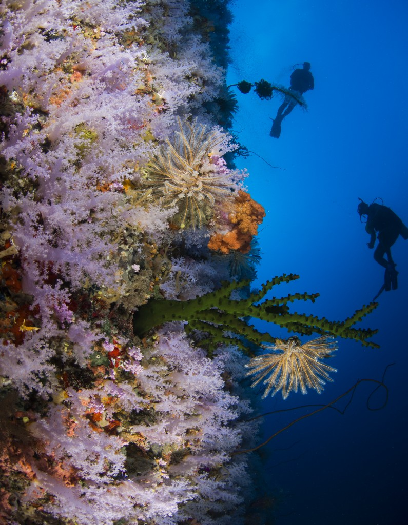 """Consistently rated among the top dive sites in the world, the Great White Wall is a reason divers come to Taveuni and Rainbow Reef year after year. © Heather Sutton"