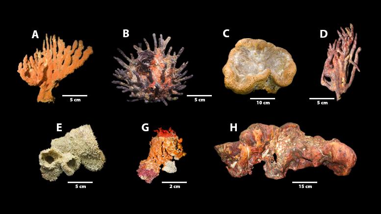 Prancha Corais Foz Amz Sci Adv Format_Corals Landscape