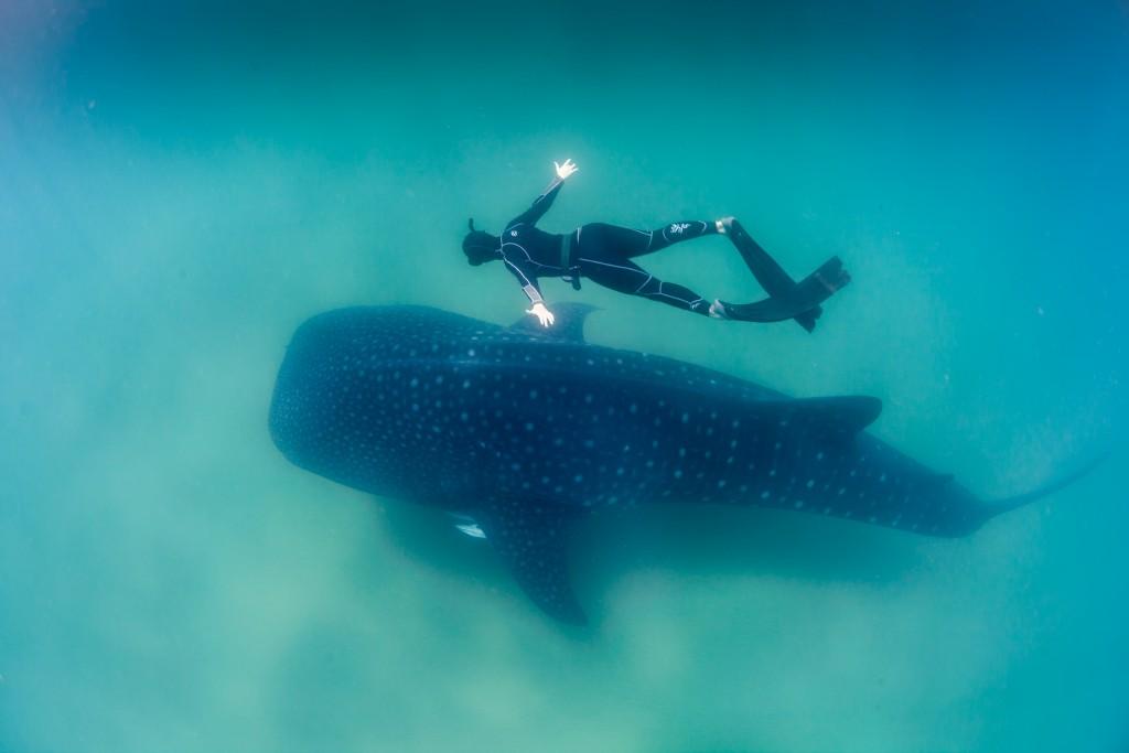 A freediver swims above a whale shark. © FeeFiona, Wikimedia Commons