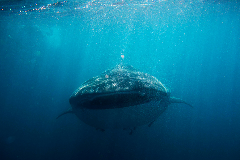 A whale shark (Rhincodon typus) at Ningaloo Reef, Western Australia © Sylke Rohrlach