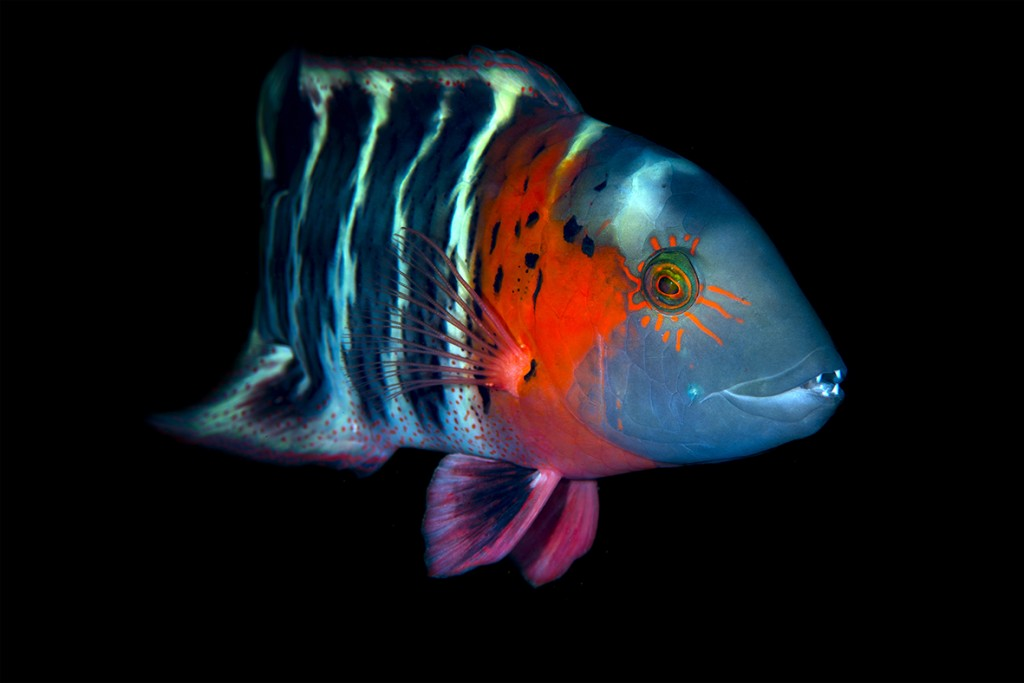 These little Japanese islands are home to blindingly colourful fish like the scarlet-breasted Maori wrasse © Yorko Summer