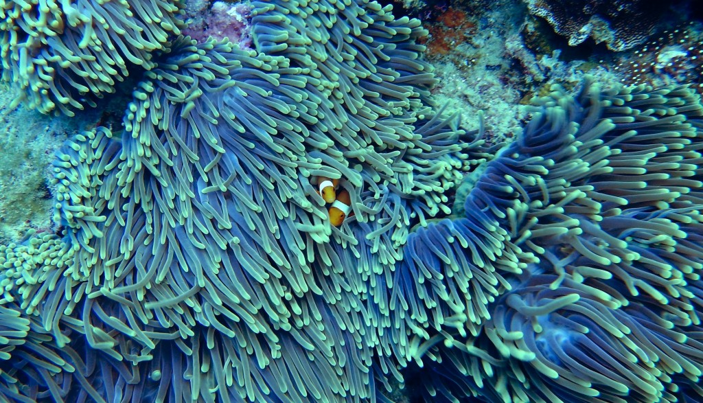 Clownfish hide within an anemone. © Tom Fisk