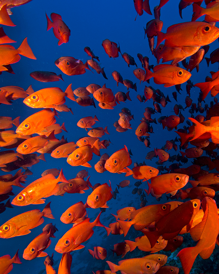 Big schools of fish, like these big eyes, Priacanthus sp., swarm the decks and coral encrusted airfoils © Brandi Mueller