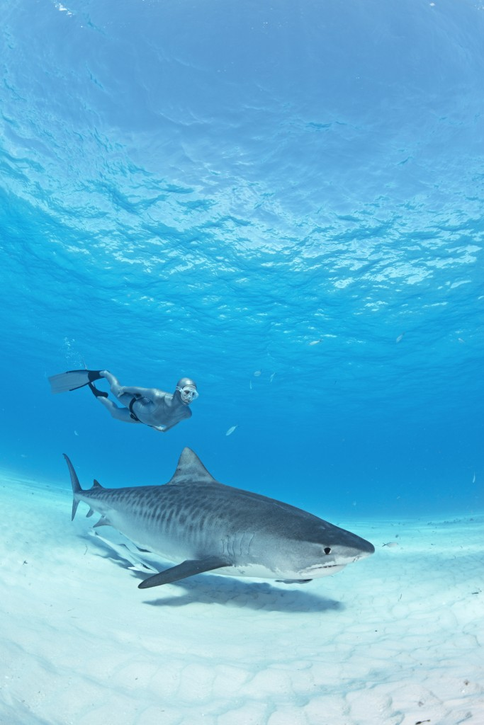 Lesley dived down a number of times to join this beautiful female tiger shark and swam beside her for over a minute at a time. © Scott Smith