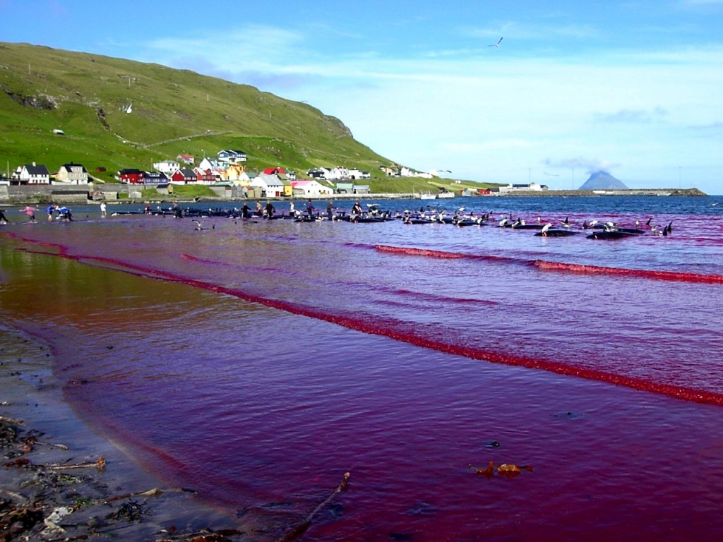 The sea stained red with the blood of a whole pod of pilot whales. © Sea Shepherd Conservation Society