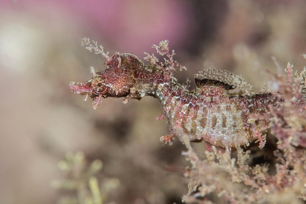 The Sydney pipehorse, Idiotropiscis lumnitzeri, is just one of the seahorse's many extraordinary cousins. © Dr Richard Smith