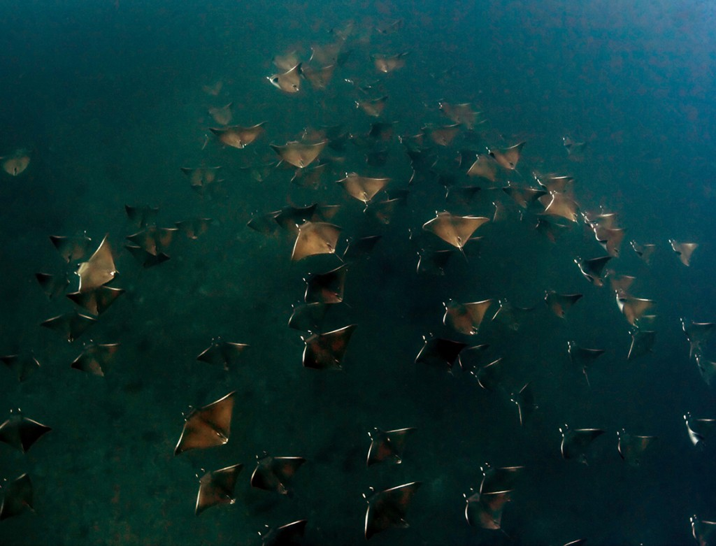 If you're lucky you can spot bow mouth guitar rays, honeycomb rays, reef sharks, dolphins, and humpback whales © Juan Vega