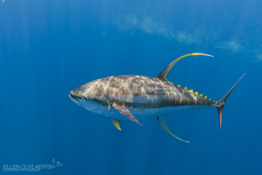 """...Mature yellowfin tuna came close enough to get a good shot."""