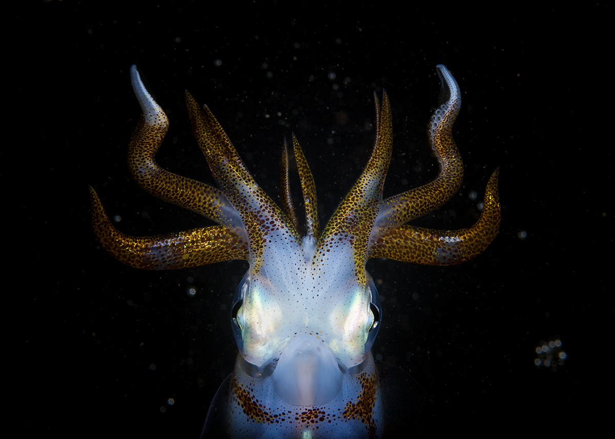 Southern Calamari Sepioteuthis australis Squid and Dawn in Bushrangers Bay, NSW Australia. © Matthew Smith