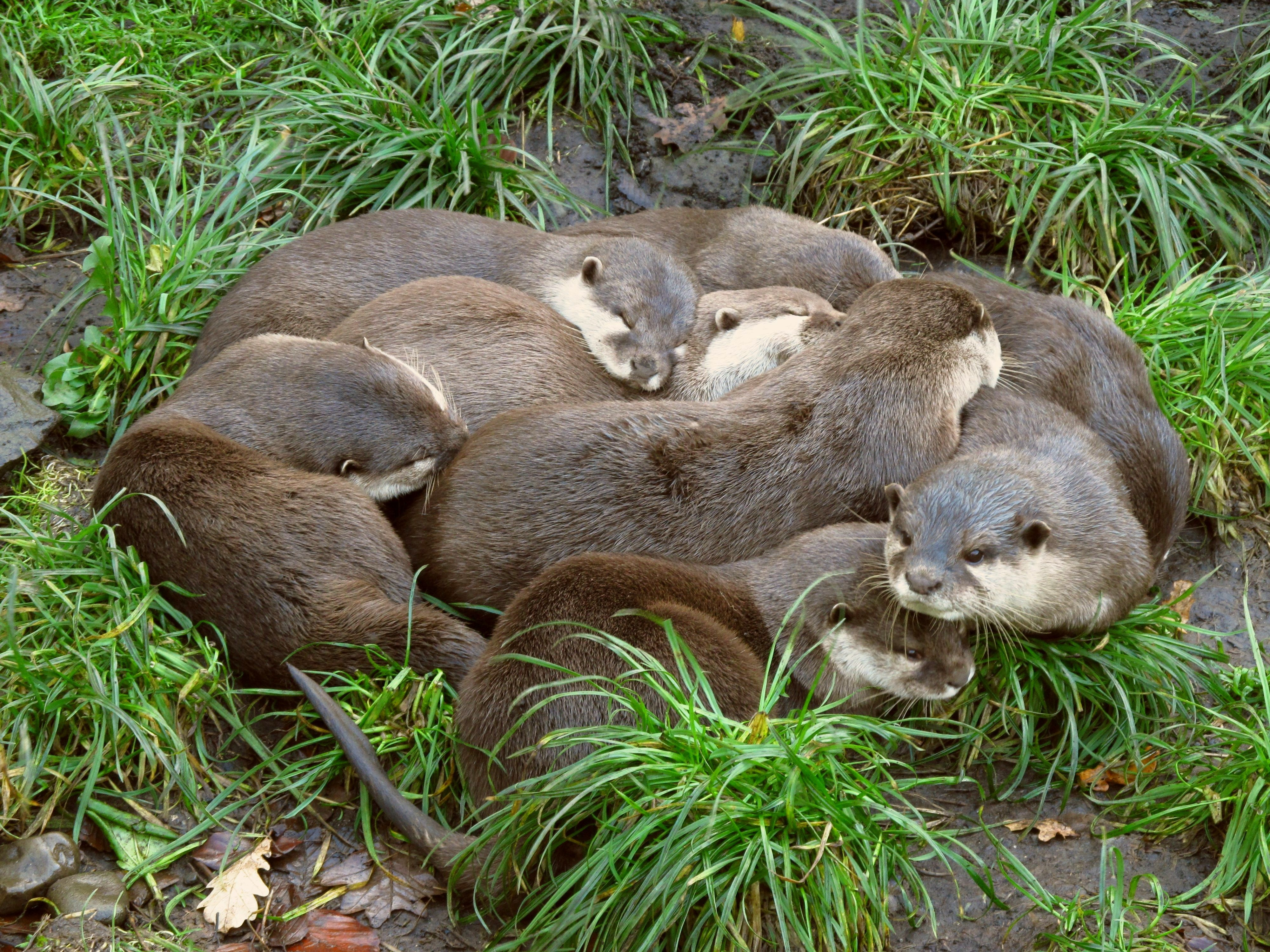 """""""Besides romping around, smooth-coated otters are known to engage in """"group rubbings"""" partly to clean their furry coats and also to strengthen family bonds."""" © 123rf.com"""